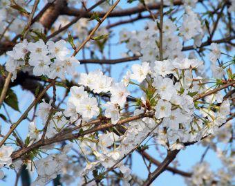 Sakura20190328_1